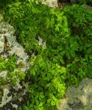 Lichens & Vines Royalty Free Stock Photo