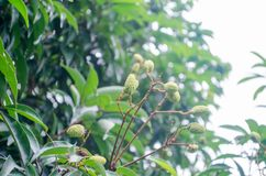 Lichi en Tailandia tropical, lichi del lichi Imagen de archivo libre de regalías
