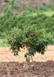 Lichi fresco en árbol Imagen de archivo libre de regalías