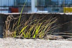 Licht überschreitet durch die grünen Grashalme, die in die wi beeinflussen Stockbild