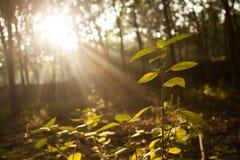 Licht beem in het bos Royalty-vrije Stock Foto