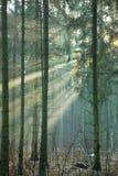 Licht binnengaand mistig bos Royalty-vrije Stock Foto's
