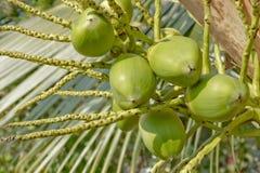 Licht coconuy fruit Stock Fotografie
