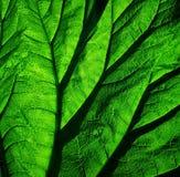 Licht, das durch ein Rhabarberblatt glänzt lizenzfreie stockfotografie