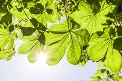 Licht in de bladeren van een kastanjeboom royalty-vrije stock foto
