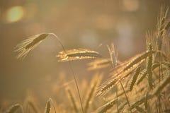 Licht des Weizenfeldes morgens Lizenzfreie Stockfotos