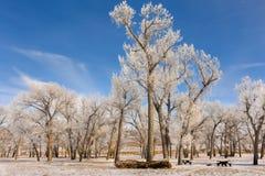 Licht door Frosty Trees Stock Afbeelding