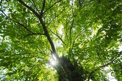 Licht door patulous treetop Royalty-vrije Stock Foto's