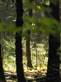 Licht durch die Bäume des Waldes Lizenzfreie Stockfotografie