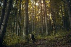 licht in een donker bos Royalty-vrije Stock Fotografie
