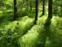 Licht en schaduw in bos Stock Foto's