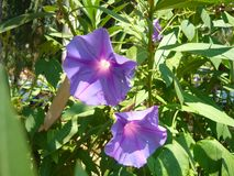 Licht in Purpere Klokbloemen stock foto