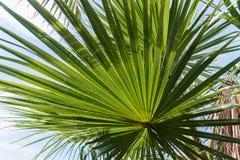 Licht und Schatten auf hintergrundbeleuchtetem Zuckerpalmblatt und -kokosnuß treiben, natürlicher Hintergrund Blätter Stockbild