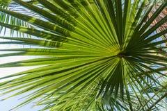 Licht und Schatten auf hintergrundbeleuchtetem Zuckerpalmblatt und -kokosnuß treiben, natürlicher Hintergrund Blätter Lizenzfreie Stockfotos