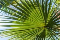 Licht und Schatten auf hintergrundbeleuchtetem Zuckerpalmblatt und -kokosnuß treiben, natürlicher Hintergrund Blätter Lizenzfreie Stockfotografie