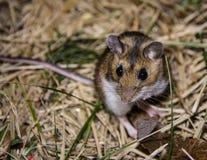 Licht zijaanzicht van een wilde huismuis die op zijn lenden opstaan die de camera onderzoeken Stock Foto's