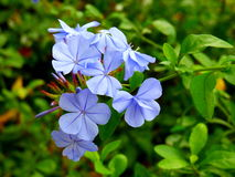 Lichtblauwe bloemen Royalty-vrije Stock Foto's