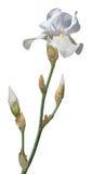 Lichtblauwe Gebaarde Iris Stock Afbeeldingen