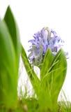 Lichtblauwe hiacynth die op wit wordt geïsoleerda Stock Foto