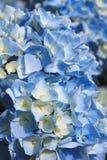 Lichtblauwe hydrangea hortensiabloemen Royalty-vrije Stock Afbeeldingen