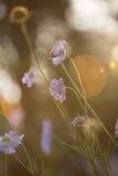 Lichtblauwe speldenkussenbloemen stock afbeelding