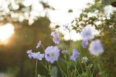 Lichtblauwe speldenkussenbloemen stock afbeeldingen