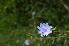 Lichtblauwe witlofbloem met exemplaarruimte Royalty-vrije Stock Afbeeldingen