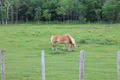 Lichtbruin paard royalty-vrije stock afbeeldingen