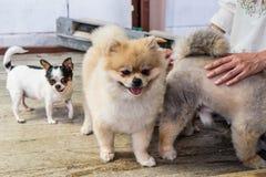 Lichtbruine Pomeranian en witte/zwarte Chihuahua met houten surfa Stock Foto's