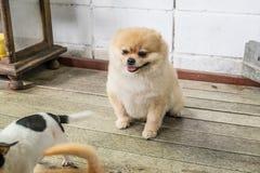 Lichtbruine Pomeranian gaat zitten Royalty-vrije Stock Afbeeldingen