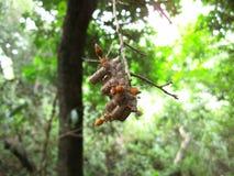 Lichtbruine wespen op nest in Swasiland Stock Afbeeldingen