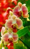 Lichtdurchlässige Phalaenopsisorchidee stockfotos