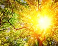 Lichtdurchlässige Sonne durch Niederlassungen von Eiche instagram Zauntritt Stockbilder
