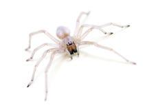 Lichtdurchlässige Spinne auf Weiß Stockfotografie