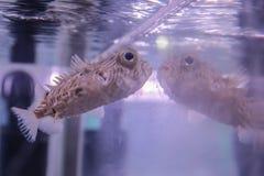 Lichte beige vissen die dichtbij het glas van het aquarium zwemmen royalty-vrije stock foto's