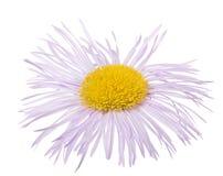 Lichte lilac bloei met vele dunne bloemblaadjes Stock Afbeeldingen