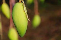 Lichte mango bij mangoboomgaarden Stock Foto's
