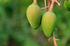 Lichte mango bij mangoboomgaarden Stock Afbeelding