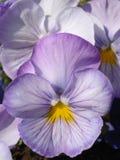 Lichte mauve pansies stock foto's