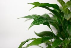 Lichte ruimte als achtergrond en exemplaar Het onduidelijk beeldclose-up op een vers groen blad, na regen met water daalt Botanis stock foto