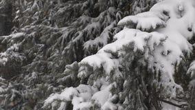 Lichte sneeuwval De sneeuw behandelde takken van de pijnboomboom stock footage