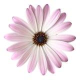 Lichte violette Daisy Royalty-vrije Stock Foto