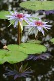 Lichte violette lotusbloem Stock Foto's