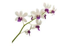 Lichte witte die orchidee met tak op witte achtergrond wordt geïsoleerd Royalty-vrije Stock Afbeeldingen