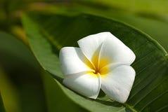Lichte witte en gele bloem voor achtergrond stock fotografie
