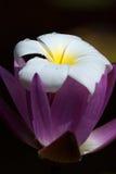 Lichte witte en gele bloem voor achtergrond stock foto's