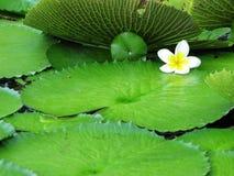 Lichte witte en gele bloem voor achtergrond stock afbeelding