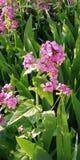 Lichte zachte de zomerachtergrond Roze en purpere bloemen van flox op de achtergrond van heldergroen gras stock foto's