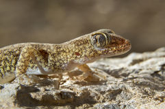 Lichtenstein's Short-fingered Gecko (Stenodactylus sthenodactylus) portrait. Stock Photo
