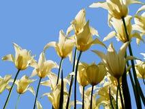 Lichtgele die tulpen van onderaan tegen het zonlicht worden gezien en daarom mooie silhouetten Royalty-vrije Stock Foto's
